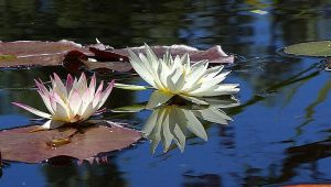 lotuses and lily pads on blue water in seattle are mindfulness tools that reduce stress and help you overcome life challenges