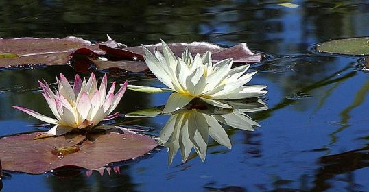 lotus flowers in seattle pond make us reflect on mindfulness with teacher blair carelton